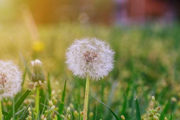 Dandelion maduro. fundo de primavera. grama verde.