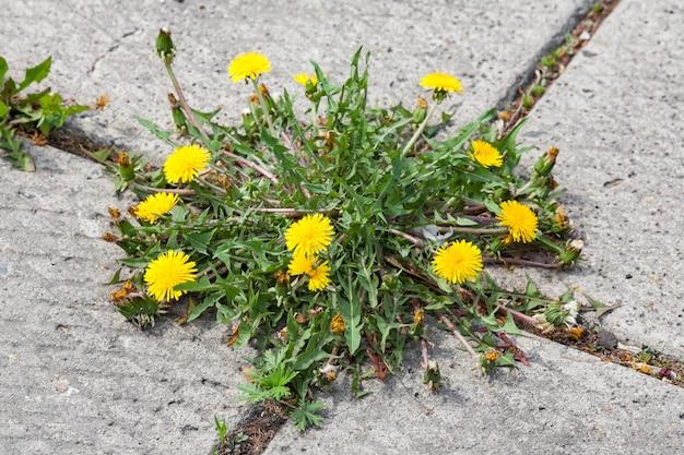 Dandelion, taraxacum officinale, crescendo na calçada