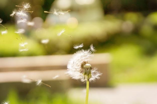 Dandelion voar para longe no vento