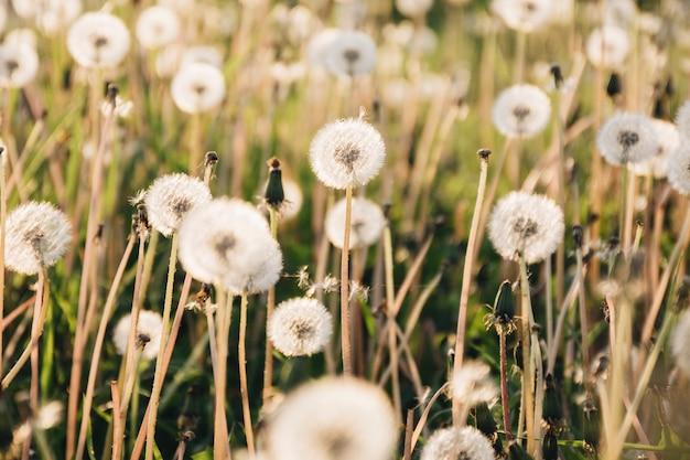 Dandelions, crescendo, ligado, grande, campo