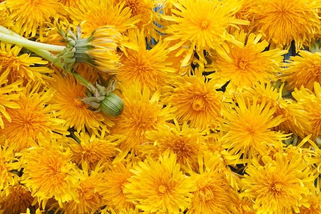 Dandelions flores amarelas, pode ser usado como uma parede