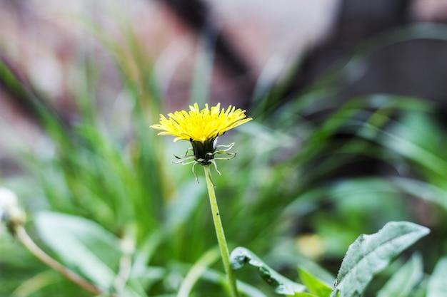 Dandelions (taraxacum officinale) na grama