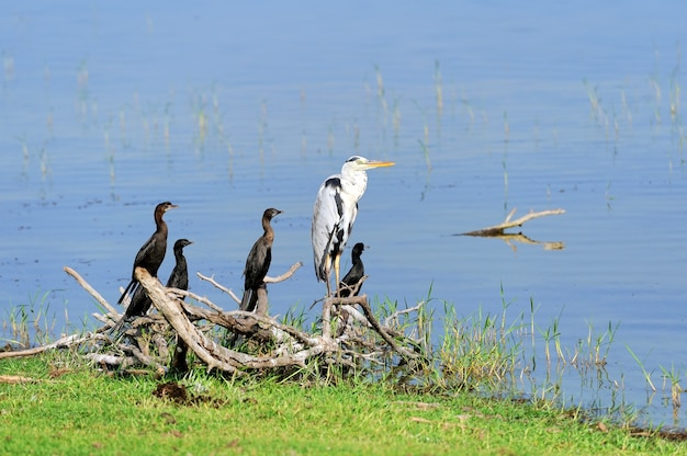 Darter no lago. ilha de sri lanka
