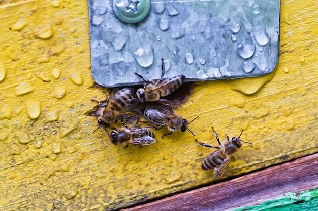Das abelhas da entrada da colméia surgem.