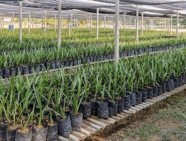 Data de planta no berçário