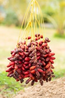 Datas ramos de palmeira com datas maduras