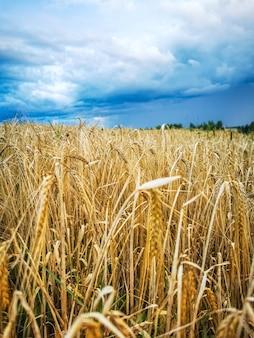 De amadurecimento de espigas de campo de trigo amarelo no pôr do sol no fundo do céu azul nublado