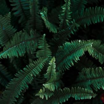De cima das folhas de samambaia