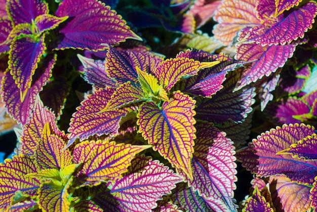 De folhas coloridas, uma planta bonita