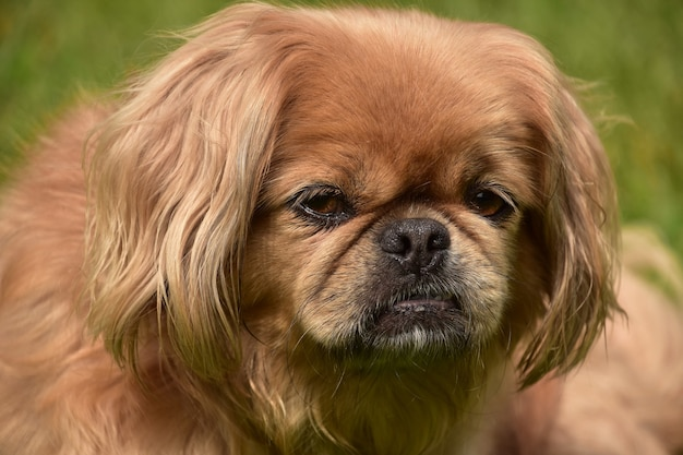 De perto, olhe para o rosto de um cão pequinês ruivo fofo.
