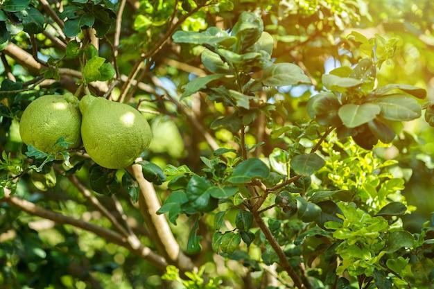De toranja verde cresce na árvore de toranja em um jardim