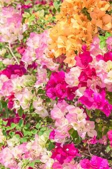 Decoração colorida de buganvílias no jardim