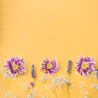 Decoração de respiração comum do bebê; crisântemo e lavanda flores sobre fundo amarelo