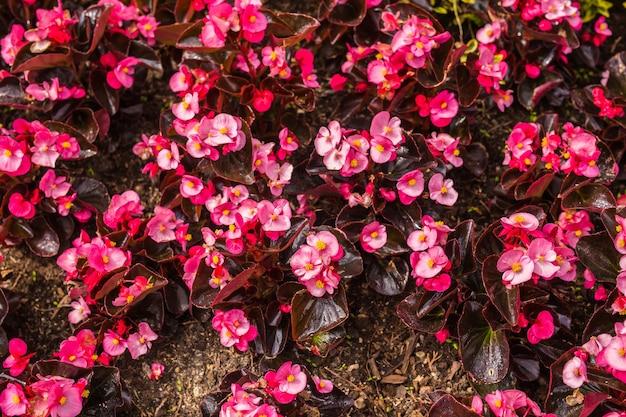 Decoração e conceito de natureza lindas flores cor de rosa no jardim
