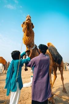Decorando camelo para luta