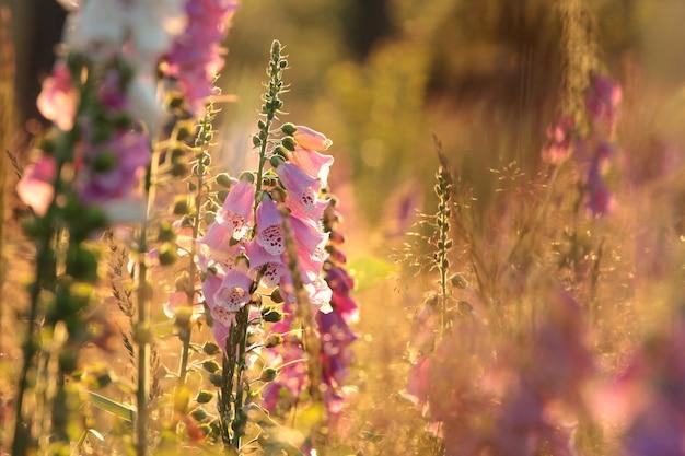 Dedaleira roxa digitalis purpurea durante o nascer do sol