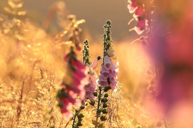 Dedaleira roxa na floresta ao amanhecer