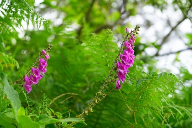 Dedalera flower digitalis purpurea rosa astúrias