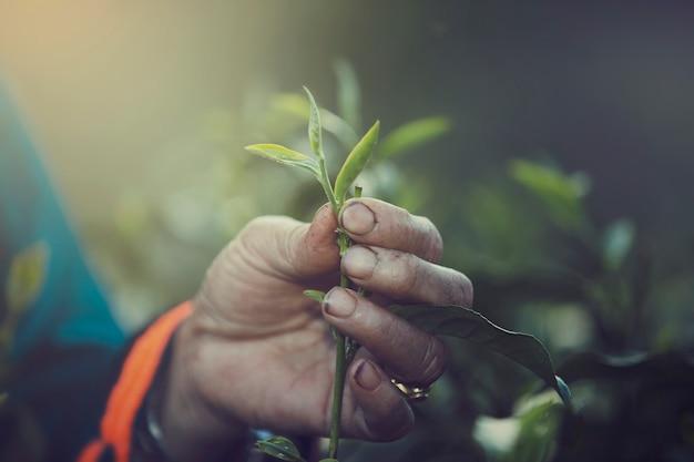 Dedo da mão das mulheres que pegara as folhas de chá em uma plantação de chá para o produto