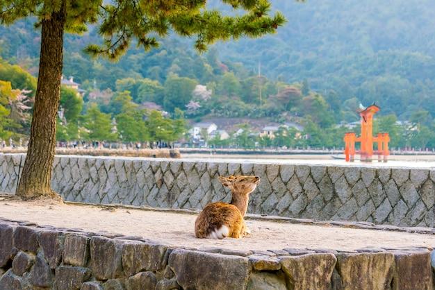 Deer and red torii em miyajima hiroshima, japão