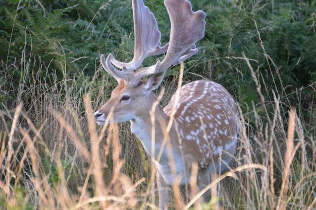 Deer em bushy park.