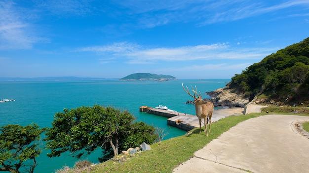 Deer na ilha é cercada por mar.