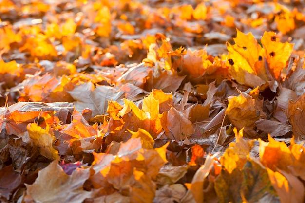 Deitada no chão, a folhagem de bordo caída durante a temporada de outono.
