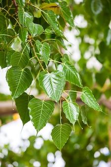 Deixa a árvore bodhi em um dia chuvoso.