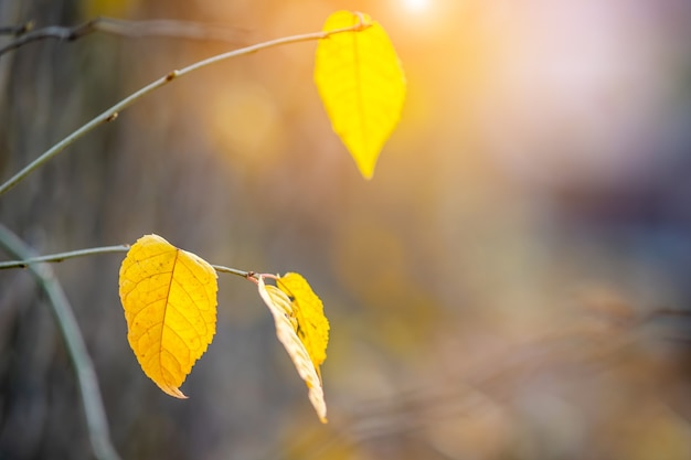 Deixou folhas amarelas em galhos nus ao ar livre no outono.