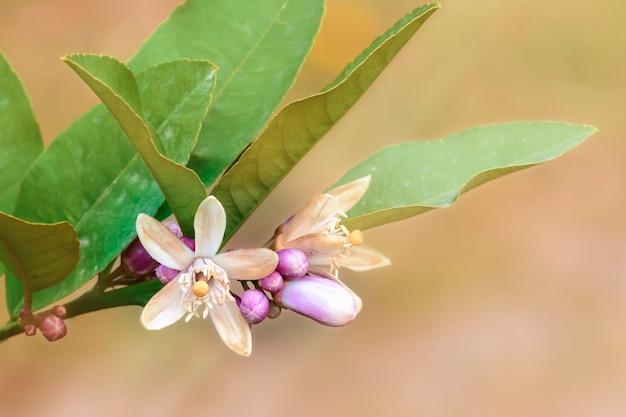 Delicada flor de jasmim com grandes folhas verdes em fundo desfocado