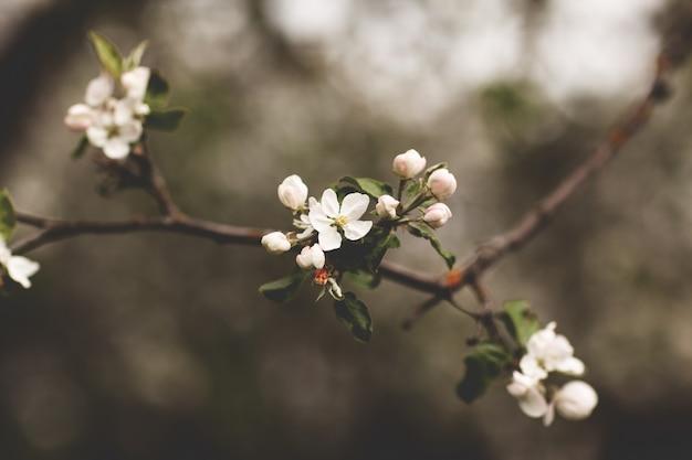 Delicada flor de maçã branca no jardim primavera