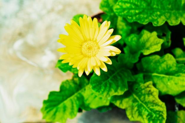 Delicada flor gerbera amarela crescendo em um vaso em uma estufa