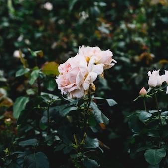 Delicada rosa rosa na planta