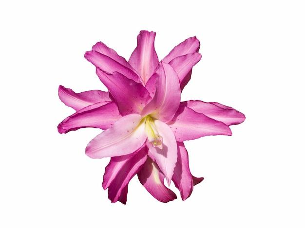 Delicada variedade roselily kendra lily isolada no fundo branco