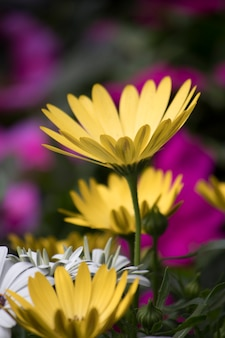 Delicadas flores amarelas de camomila no jardim
