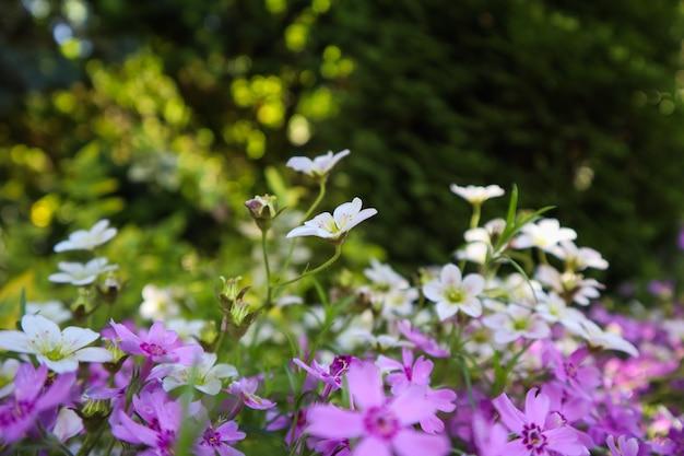 Delicadas flores brancas de saxifrage musgoso e roxo phlox no jardim de primavera