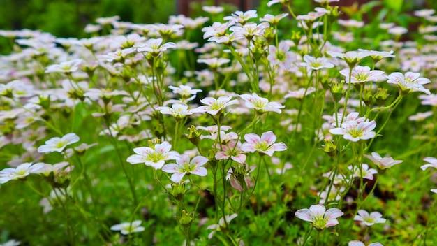 Delicadas flores brancas de saxifrage musgoso no jardim primavera