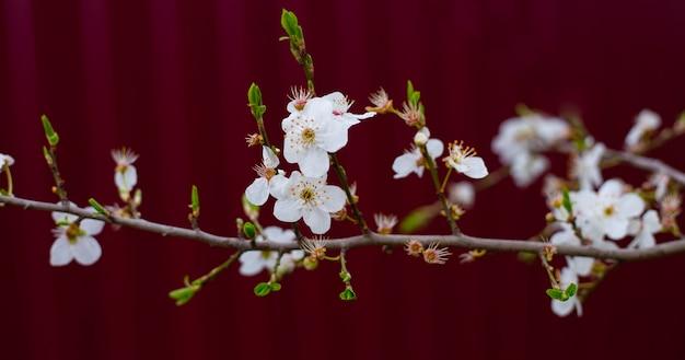Delicadas flores brancas e folhas jovens em um galho de uma árvore de fruta em um fundo cor de vinho.