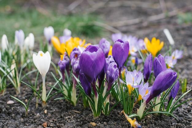 Delicadas flores de açafrão x roxo e amarelo crescem no jardim na primavera