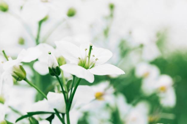 Delicadas flores frescas brancas
