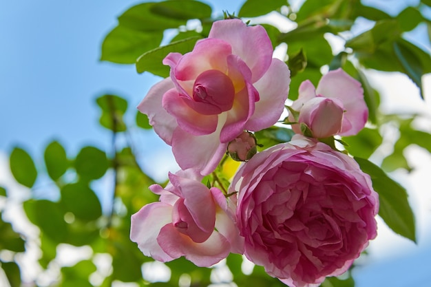 Deliciosos botões de rosas cor de rosa contra um fundo de céu azul brilhante e folhas verdes. verão quente no jardim