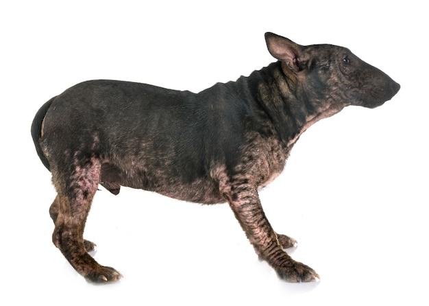 Demodicose e bull terrier