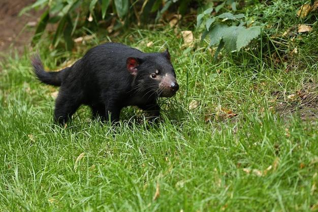 Demônio da tasmânia. sarcophilus harrisii