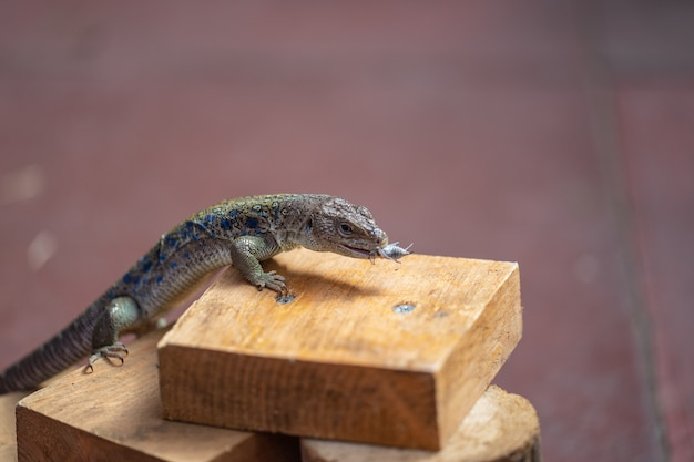 Demonstração de alimentação de lagarto