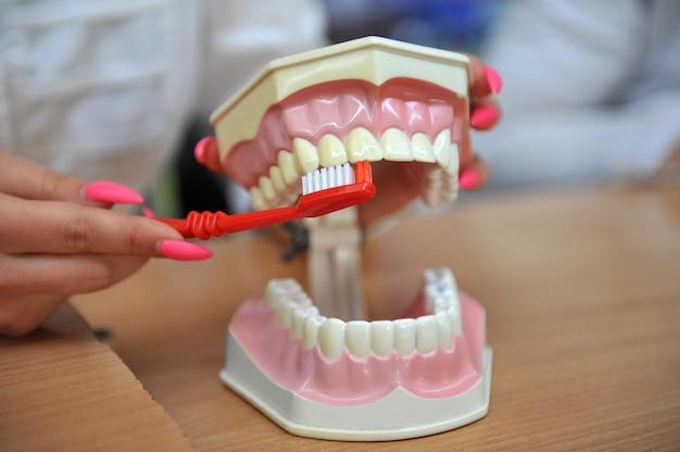 Demonstração dos métodos de escovação dos dentes no modelo de treinamento da cavidade oral com os dentes