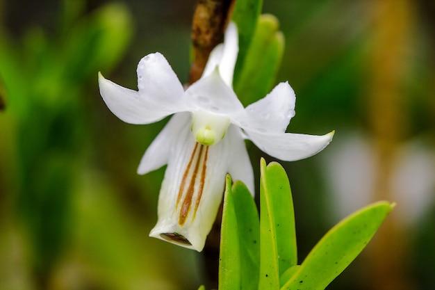 Dendrobium ellipsophyllum, pétalas brancas encontradas na floresta evergreen seca