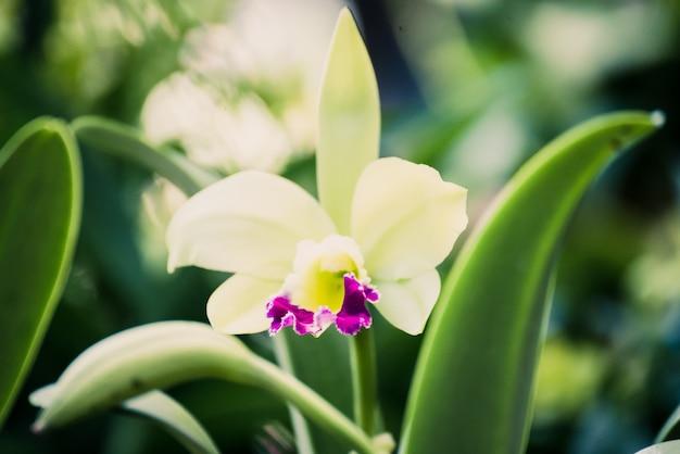Dendrobium híbrido, closeup, de, bonito, orquídea, flores, florescer, em, a, garden.nature, vista, de, flor