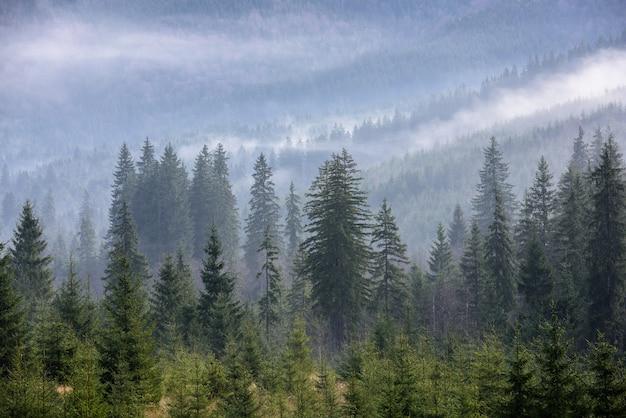 Densa floresta de pinheiros na névoa da manhã. floresta de pinheiros nevoenta.