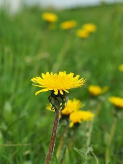 Dente-de-leão amarelo brilhante no campo closeup