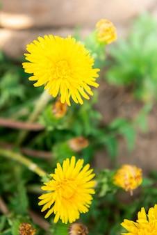 Dente-de-leão amarelo crescendo no jardim da primavera
